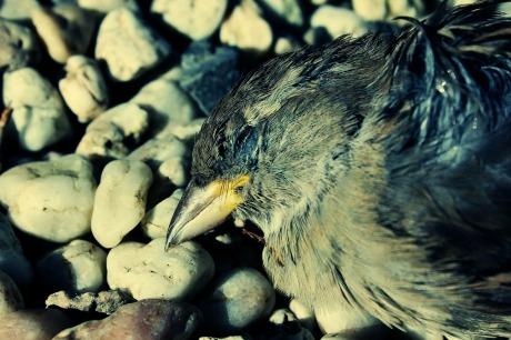 dead-sparrow-314385_1280
